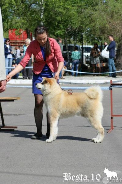 Предложение: Показ собаки на выставке Хабаровск