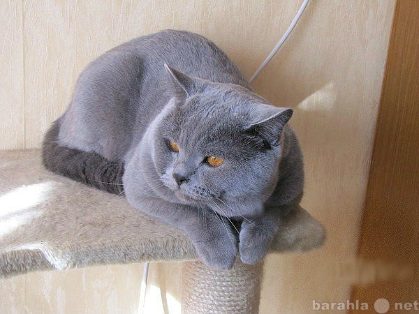 Предложение: Вязка британского кота